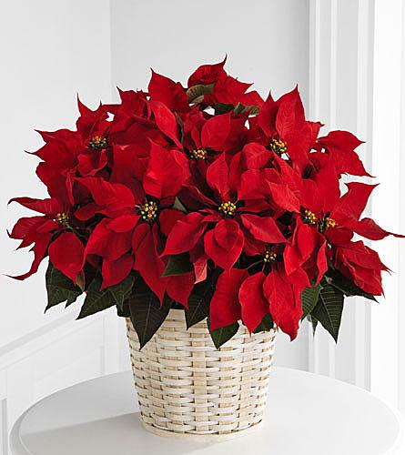 Wedding Flowers Omaha Ne: Large Red Poinsettia